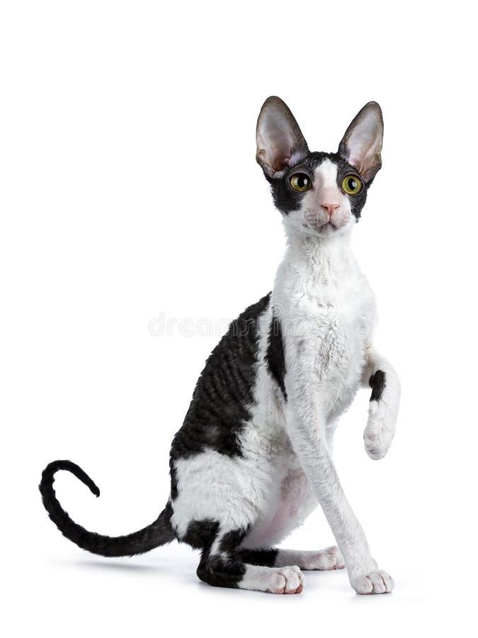 Fantastisk svart bicolor cornisk Rex katt på vit bakgrund arkivbilder
