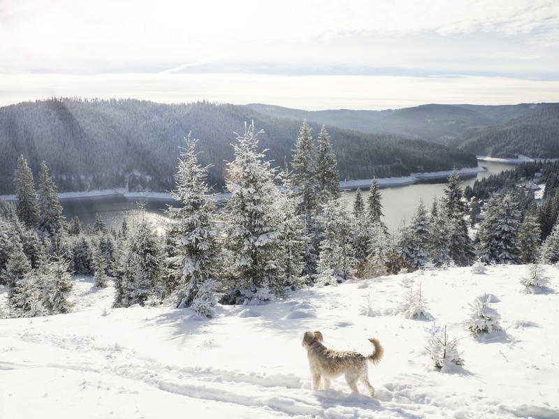 Fantastisk vinterunderland med hunden i snön fotografering för bildbyråer