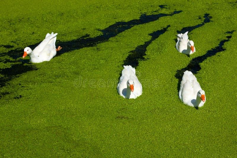Fantastiska fyra - gooses royaltyfria foton