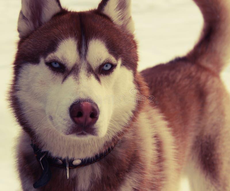 Fantastiska härliga ögon av nordlig hundkapplöpning arkivbilder