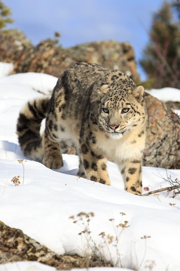 Fantastiskt fotografi av att förfölja snöleoparden royaltyfri foto