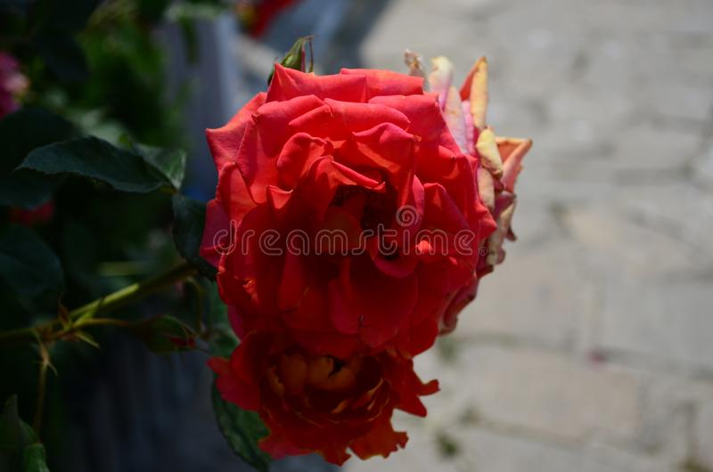 Fantastiskt h?rliga rosor p? ?n av den Nessebar Bulgarien royaltyfri bild
