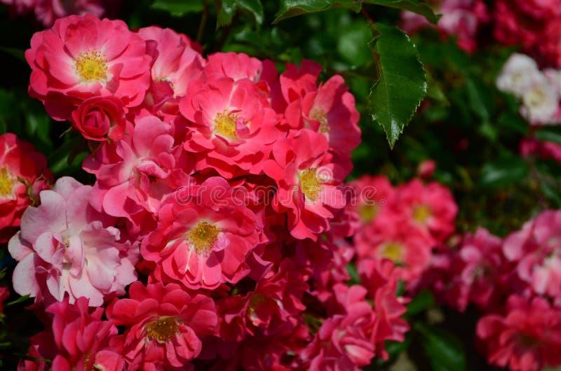 Fantastiskt h?rliga rosor p? ?n av den Nessebar Bulgarien fotografering för bildbyråer