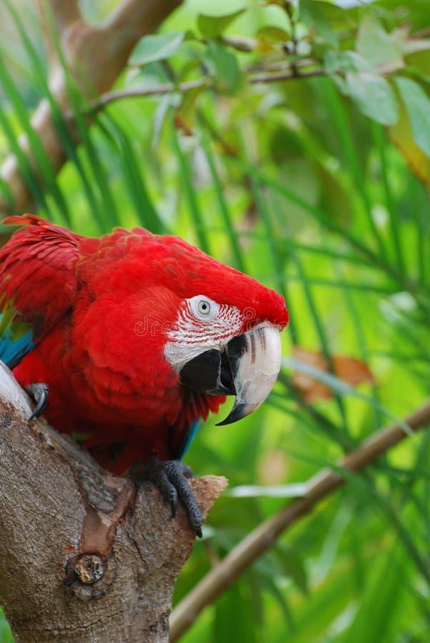 Fantastiskt rött papegojasammanträde i ett träd arkivbilder