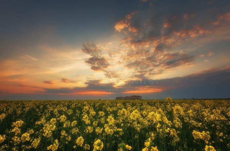 Fantastiskt rapsfröfält på den dramatiska mulna himlen Mörkermoln som kontrasterar färger Storartad solnedgång, sommarlandskap royaltyfri bild