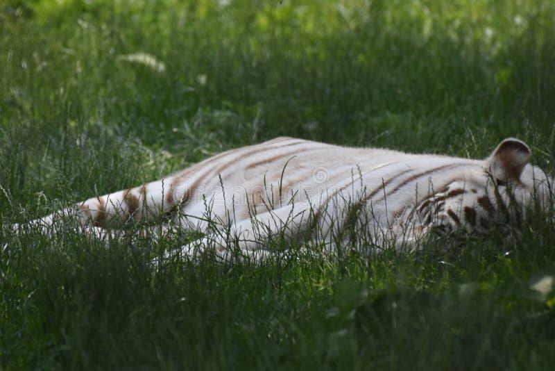 Fantastiskt tillfångatagande av en sova vit Bengal tiger royaltyfria foton
