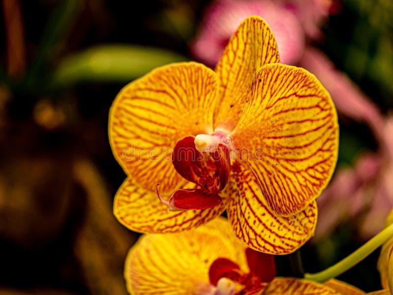 Fantastyczna żółta czerwona orchidea w górę jak fotografia royalty free