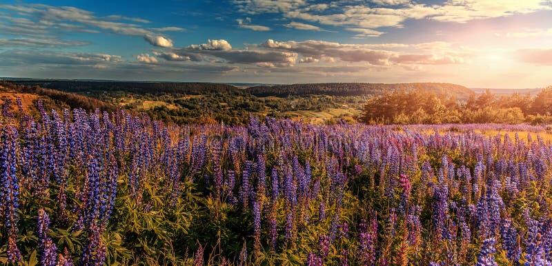 fantastyczne krajobrazu perfect niebo z chmurami nad łąką z purpurowym lupine kwitnie na słonecznym dniu zdjęcia stock