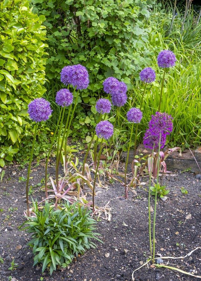 Fantastyczni purpurowi alliums fotografia stock