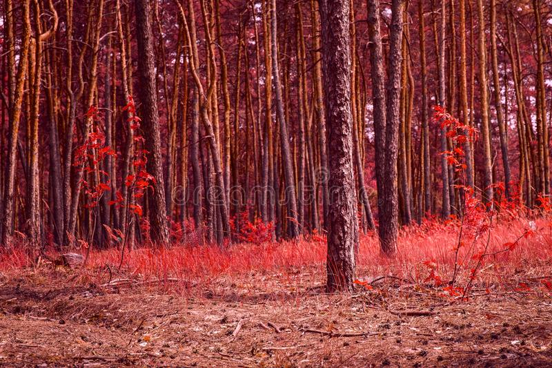 Fantastyczny iglasty jesień las odmalowywający w czerwieni zdjęcia stock
