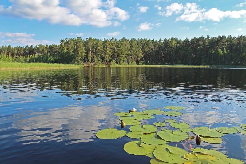 Fantastyczny krajobraz z wodnymi lelujami na lasowym jeziorze Niezwyk?a i malownicza scena Rosja zdjęcie royalty free