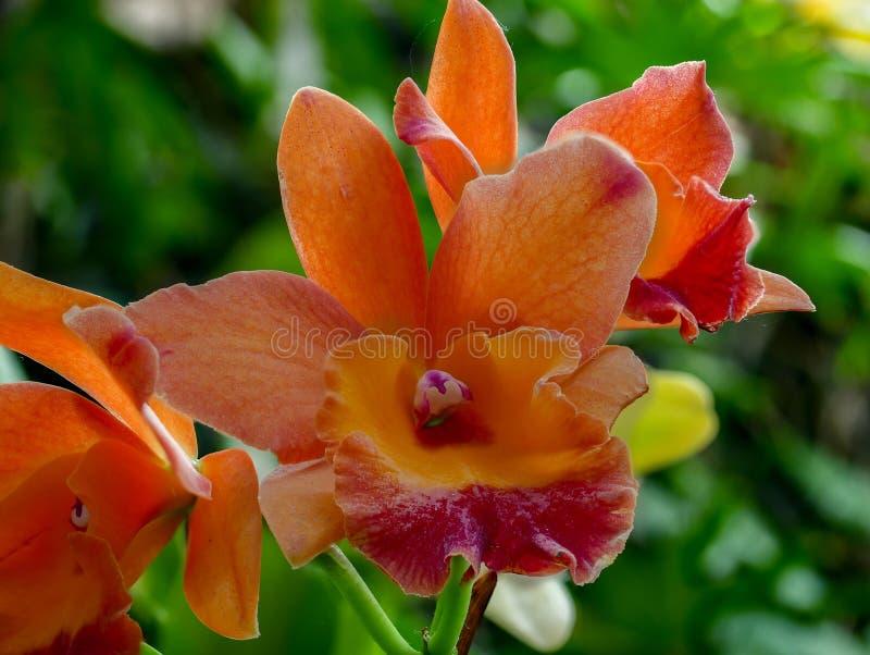 Fantastyczny w górę pomarańczowej orchidei obraz royalty free
