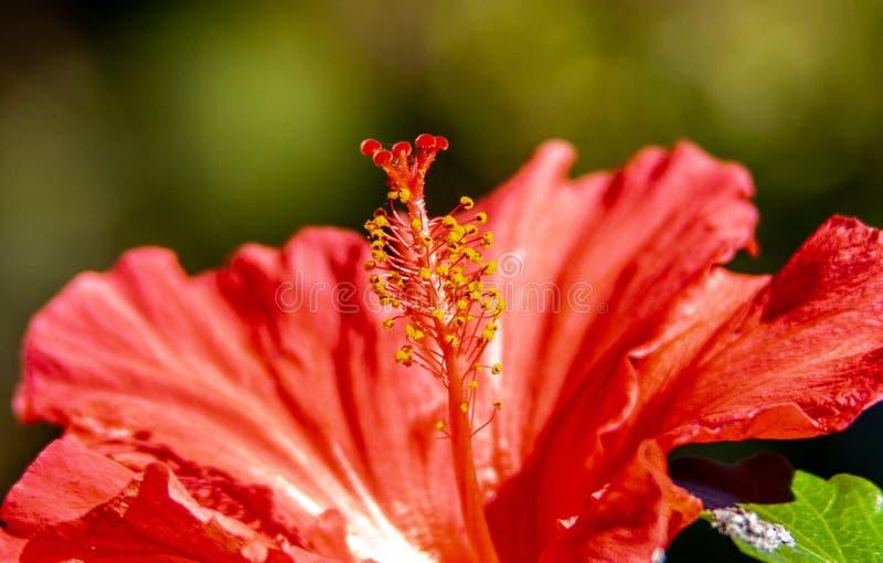 Fantastyczny zakończenie od w górę czerwonego kwiatu obrazy stock