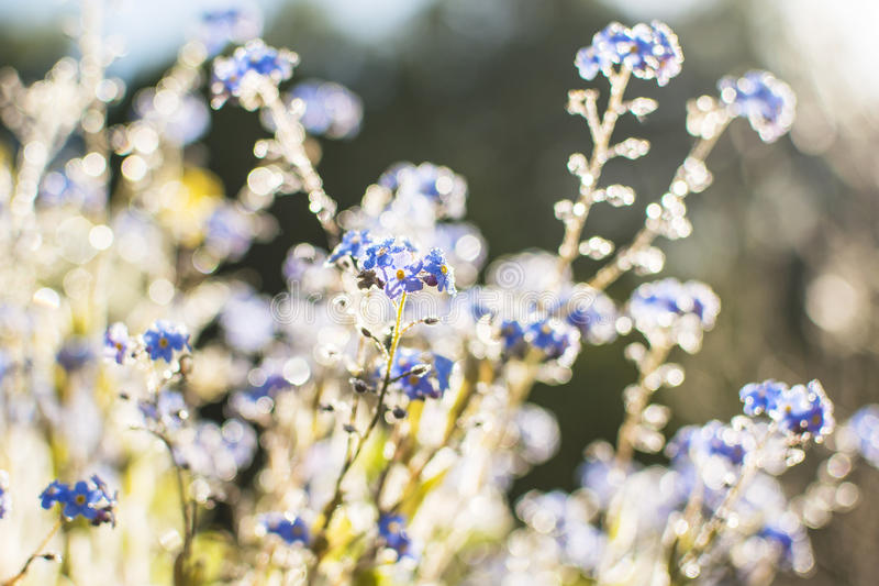 Fantasy Gentle Spring Background / Blue Flowers Defocused royalty free stock photo