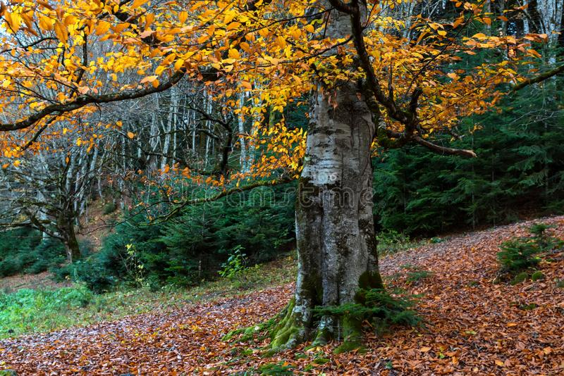 Big tree with yellow leaves in autumn forest stock photo