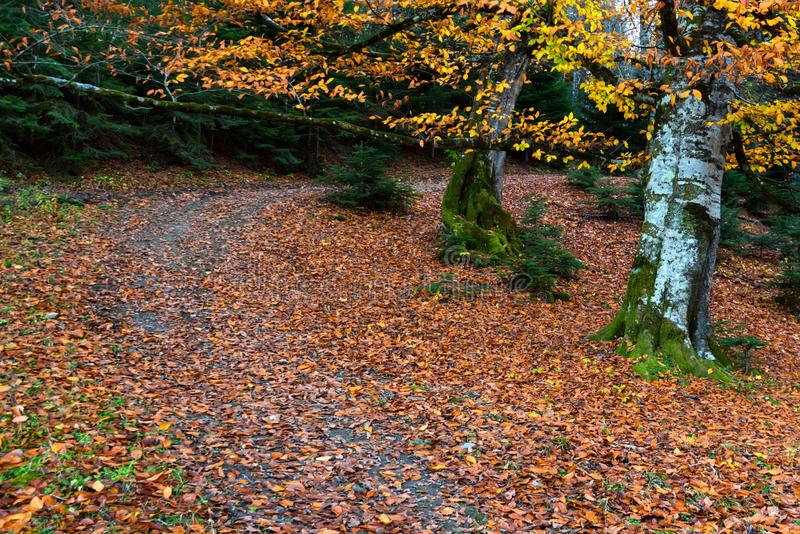 Big tree with yellow leaves in autumn forest royalty free stock photos