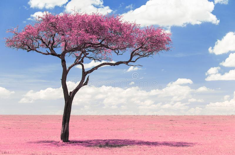 Pink acacia tree in savanna with infrared effect. Fantasy and nature concept - pink acacia tree in maasai mara national reserve savannah in africa, surreal stock images