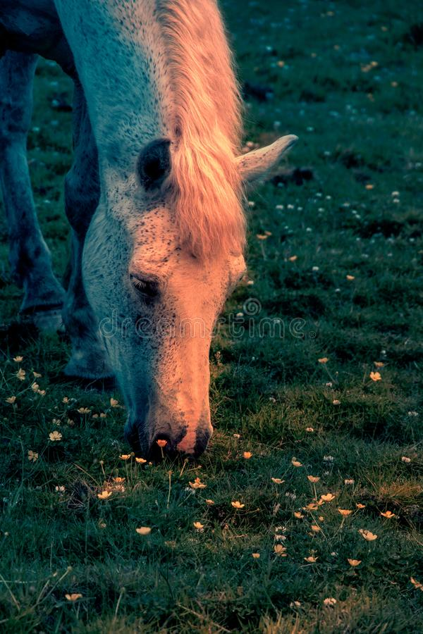 Fantasy scene of one horse head.Warm light shining on horse. Horse grazing on the green meadow. Spring night in Ireland. royalty free stock images