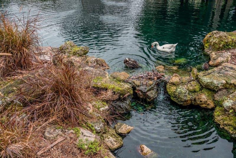Fantasy Swan lake at Eola Park, Orlando, Florida, United States. Fantasy green Swan lake at Eola Park, Downtown Orlando, Florida, United States royalty free stock photography