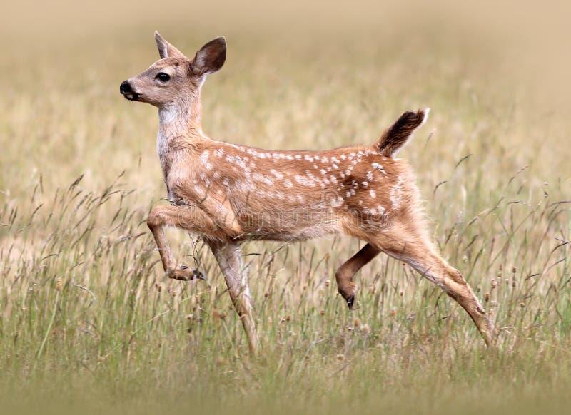 Faon à queue noire de cerfs communs photo libre de droits