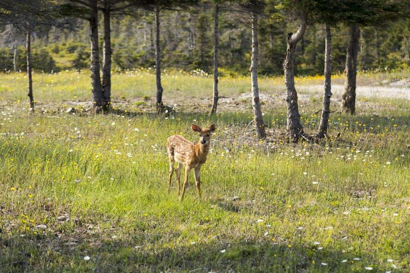 Faon adorable se tenant vigilant parmi des wildflowers photographie stock libre de droits