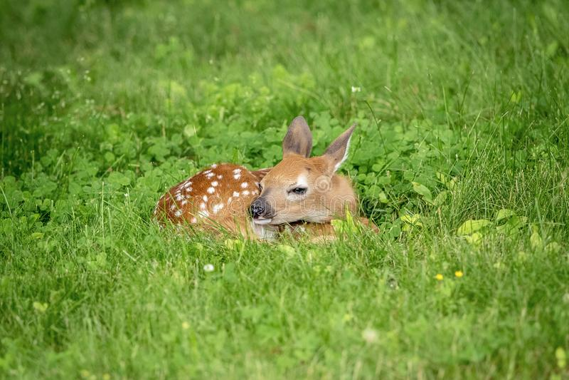 faon Blanc-coupé la queue de cerfs communs dans Poughkeepsie, NY photographie stock