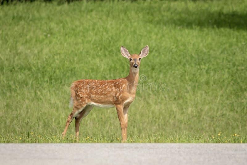 faon Blanc-coupé la queue de cerfs communs dans Poughkeepsie, NY image libre de droits