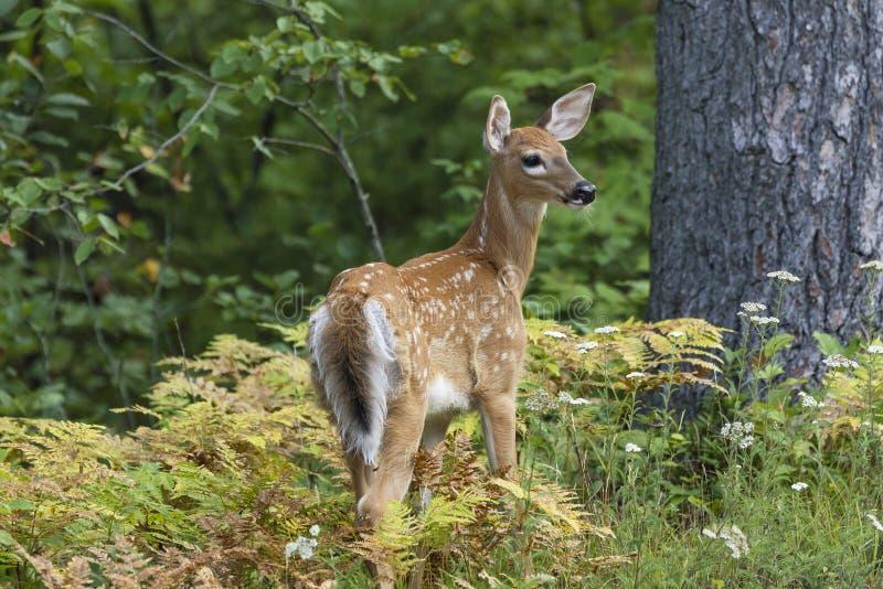 faon Blanc-coupé la queue de cerfs communs dans une clairière de forêt - Ontario, Canada image libre de droits