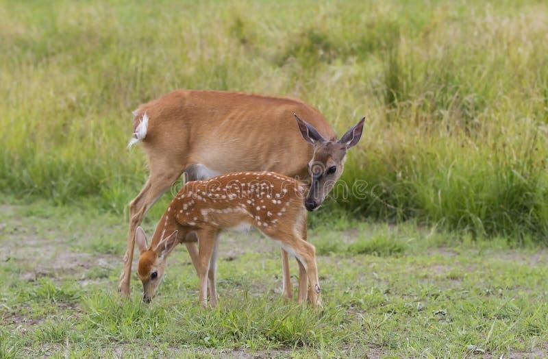 faon Blanc-coupé la queue et daine de cerfs communs frôlant dans le domaine herbeux photographie stock