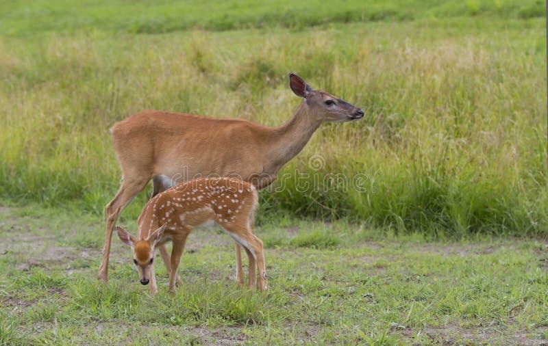 faon Blanc-coupé la queue et daine de cerfs communs frôlant dans le domaine herbeux images libres de droits
