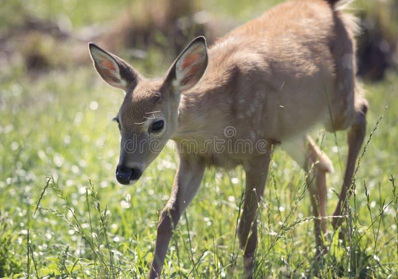 faon Blanc-suivi de cerfs communs images stock