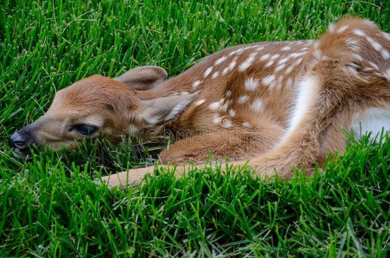 Faon de bébé, hidig dans l'herbe photo libre de droits