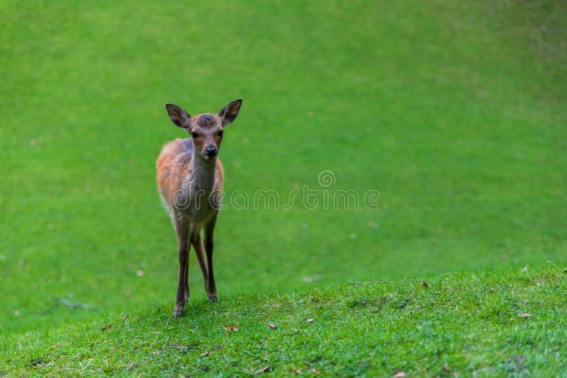 Faon de cerfs communs photographie stock