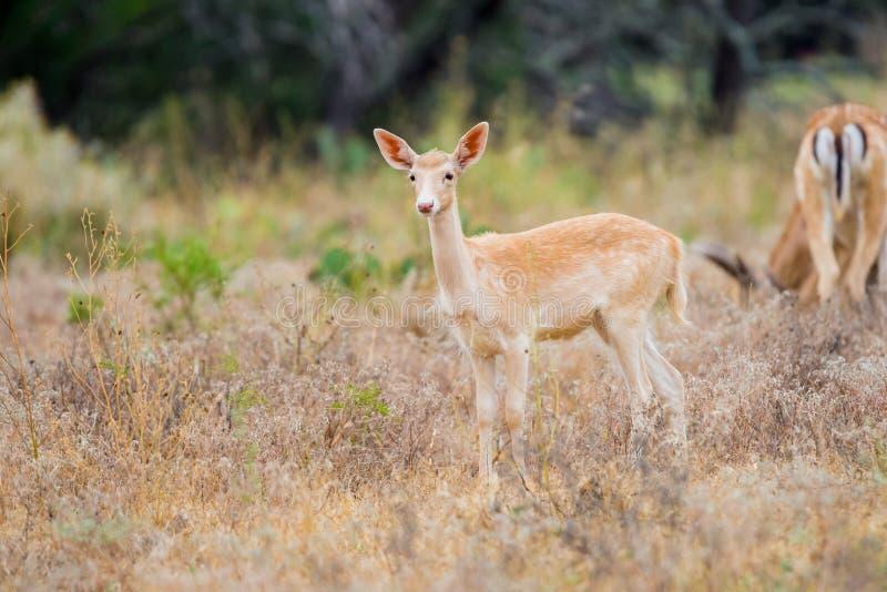 Faon de cerfs communs affrichés images libres de droits