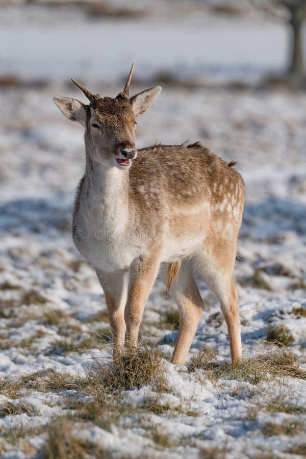 Faon de cerfs communs affrichés se tenant dans l'herbe neigeuse images libres de droits