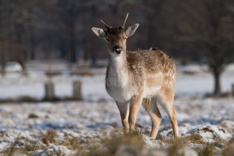 Faon de cerfs communs affrichés se tenant en parc neigeux photo libre de droits