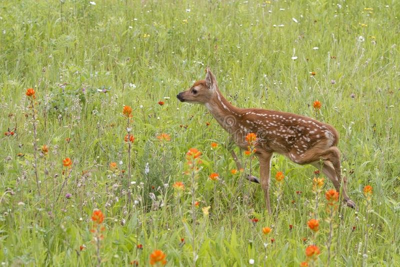 Faon de cerfs communs coupé la queue par blanc dans les wildflowers images libres de droits