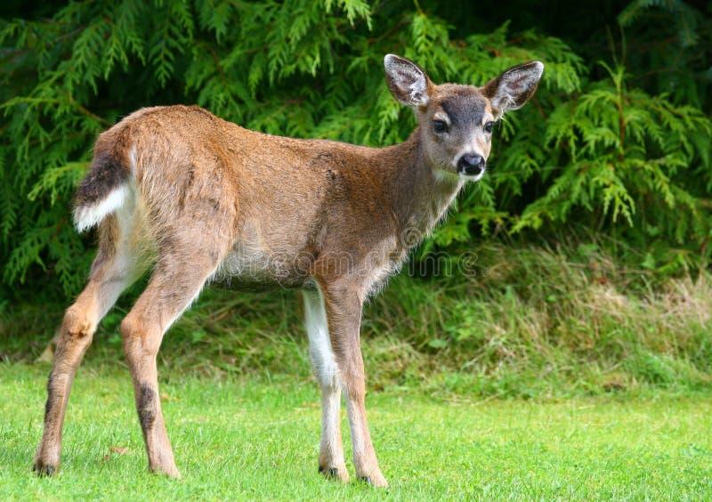 Faon de cerfs communs de mule photographie stock libre de droits