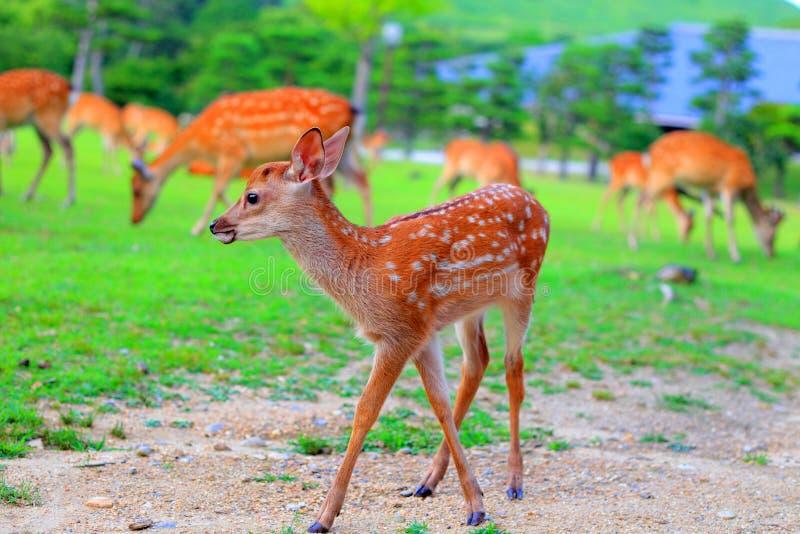 Faon de cerfs communs de Sika photographie stock libre de droits