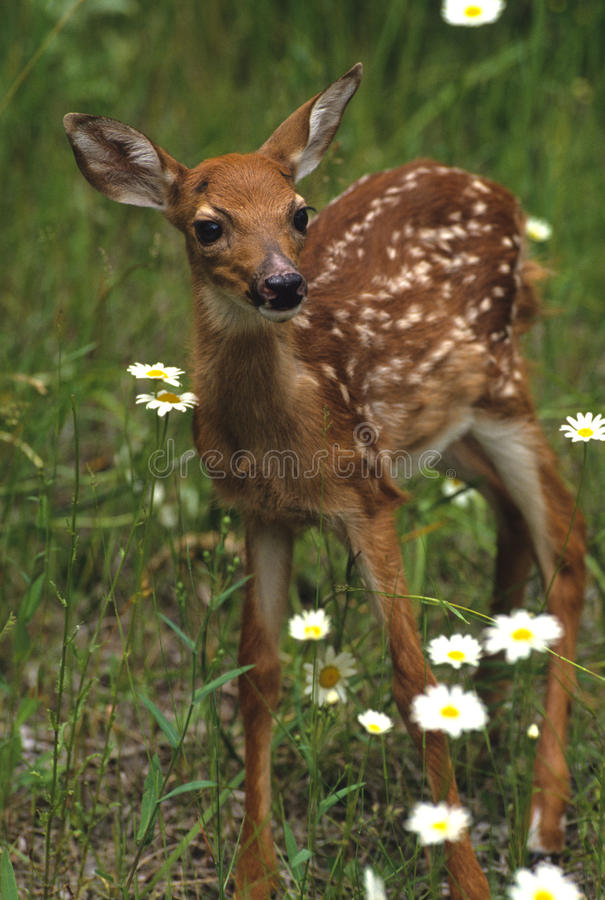 Faon de cerfs communs de Whitetail en fleurs photo stock