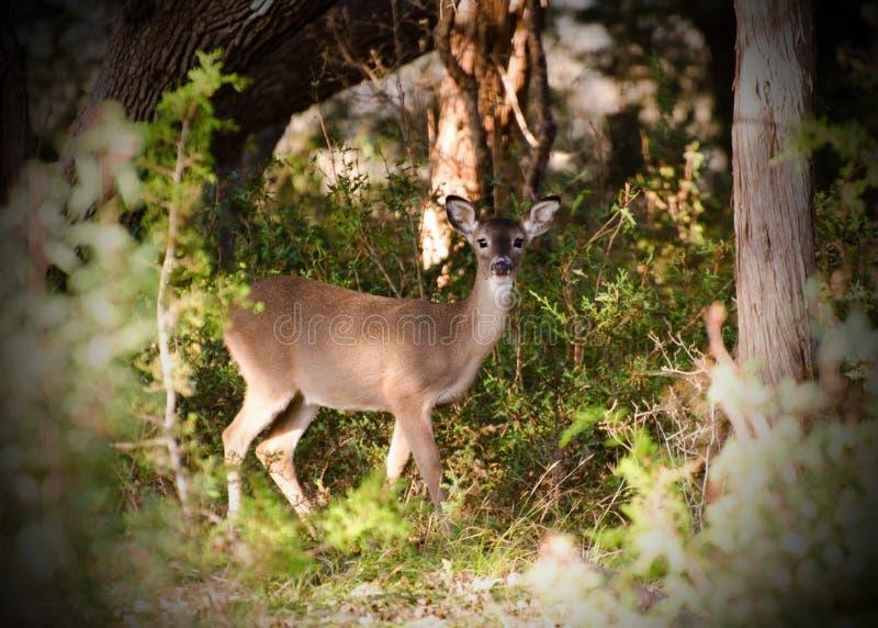 Faon de cerfs communs de Whitetailed, Texas Hill Country images stock