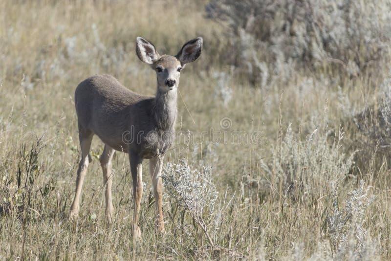 Faon de cerfs communs de mule chez Theodore Roosevelt National Park Badlands images stock