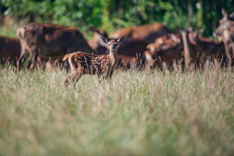Faon de cerfs communs rouges entre l'herbe grande photo libre de droits