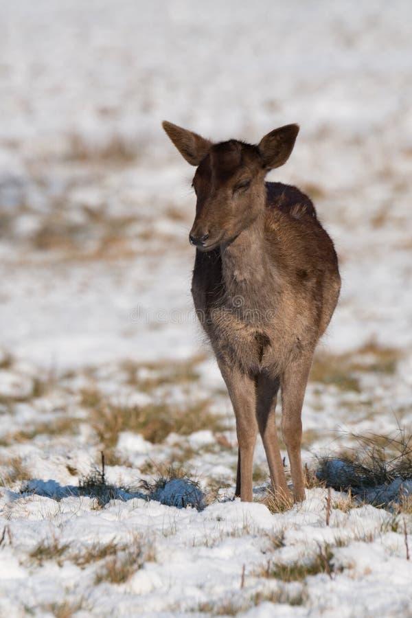 Faon de cerfs communs rouges se tenant dans l'herbe neigeuse images libres de droits