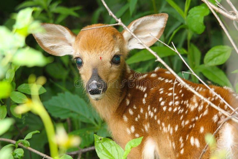 Faon de cerfs de Virginie image libre de droits