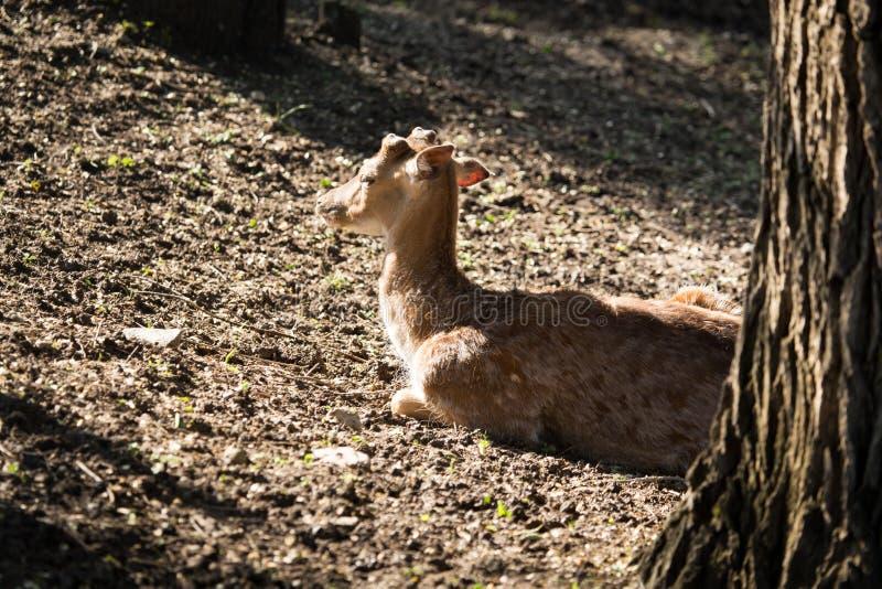 Faon en parc dans la nature photographie stock libre de droits