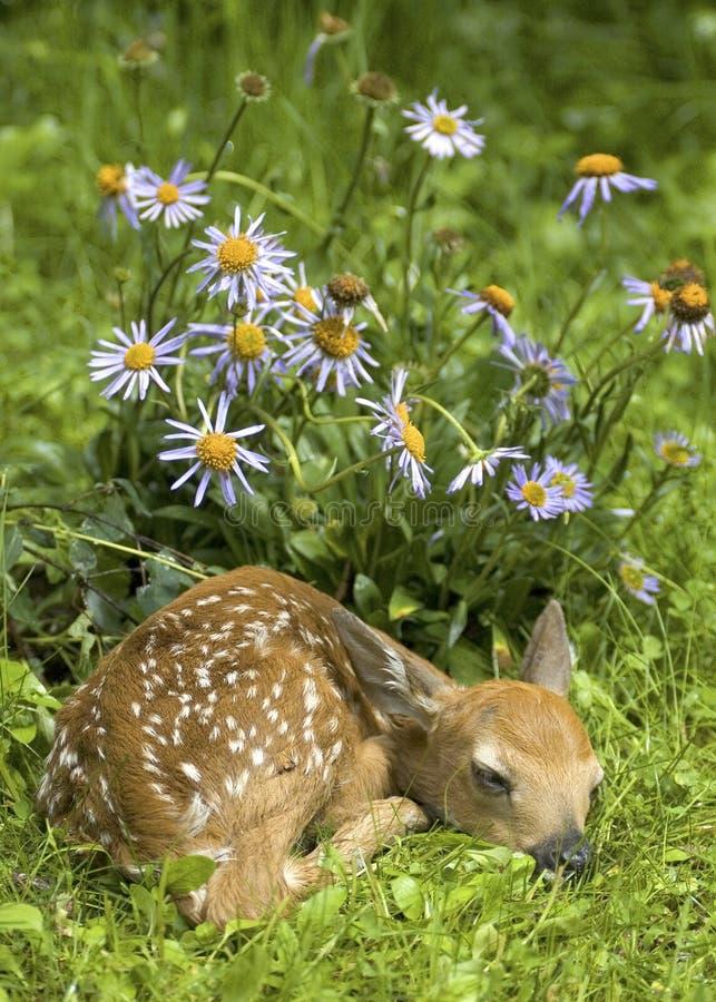 Faon et fleurs suivis blancs de cerfs communs photos libres de droits