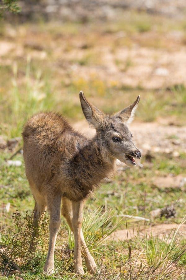 Faon mignon de cerfs communs de mule photographie stock