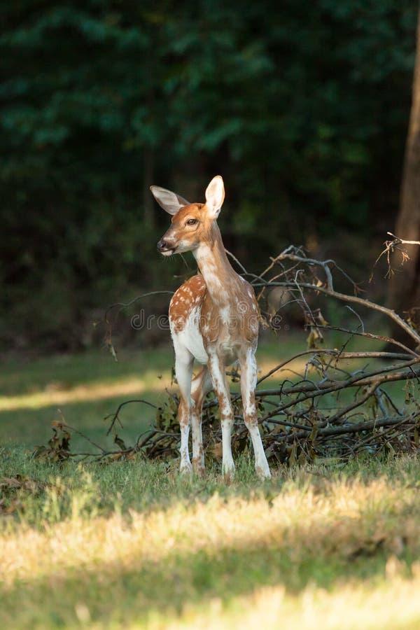 Faon pie de cerfs de Virginie photographie stock libre de droits