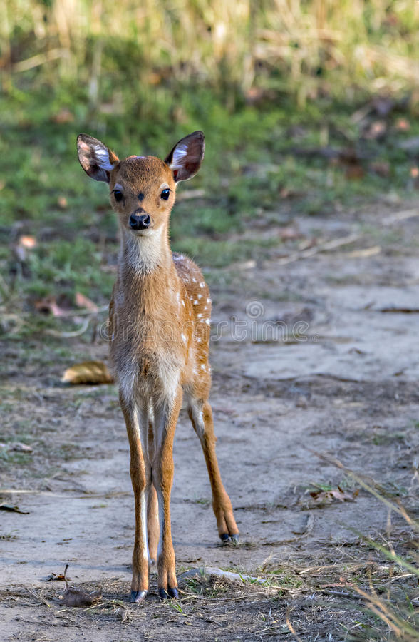 Faon repéré de cerfs communs photos stock
